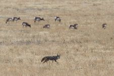 Free Grey And Brown Fox On Open Field Near Herd Of Deer Royalty Free Stock Images - 132293019