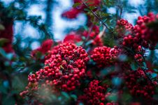 Free Selective Focus Photography Of Red Wild Berry Stock Images - 132293114
