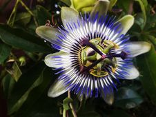 Free Flower, Plant, Passion Flower, Passion Flower Family Royalty Free Stock Images - 132351469