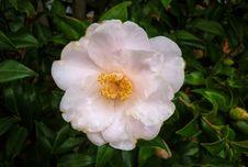 Free Flower, Plant, Flowering Plant, Camellia Sasanqua Royalty Free Stock Photography - 132351557