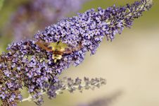 Free Lilac, Lavender, Purple, English Lavender Royalty Free Stock Photography - 132351917