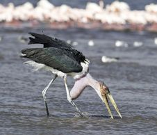 Free Marabou Stork Standing On Large Body Of Water Selective Focus Photography Stock Photo - 132385950
