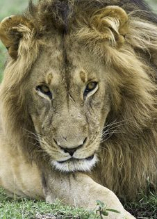 Free Lying Brown Lion On Green Grass Royalty Free Stock Images - 132385959