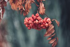 Free Close-Up Of Red Berries Stock Photography - 132386012