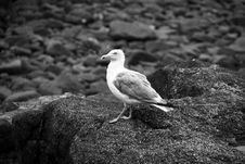 Free Ring-billed Gull Standing On Rock Grayscale Photography Stock Photography - 132386062