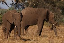 Free Two Elephants Standing On Brown Grass Field Stock Images - 132386134