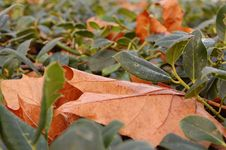 Free Brown Leaf Stock Photography - 13248722