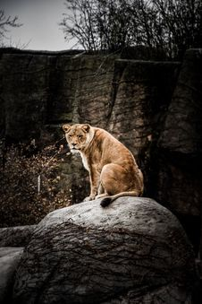 Free Lioness Resting Above Gray Rock Stock Photos - 132568343