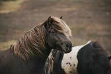 Free Two Brown And Black-and-white Horses Royalty Free Stock Images - 132568419