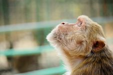 Free Photo Of Brown Monkey Looking Up Stock Image - 132568491