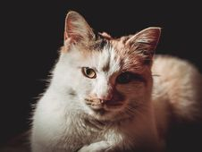 Free Close-Up Photo Of Calico Cat Royalty Free Stock Image - 132671026