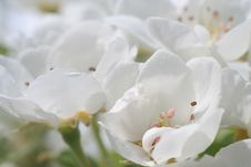 Free White Flowers Stock Image - 13274731