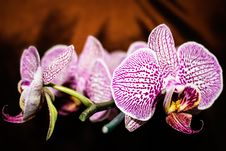 Free Purple-and-white Moth Orchid Flowers In Selective Focus Photography Royalty Free Stock Photo - 132761135