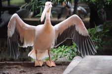 Free About To Fly White Pelican Stock Photo - 132761320