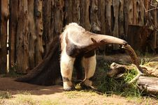Free Fauna, Terrestrial Animal, Zoo, Anteater Stock Image - 132766041