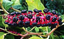 Free Plant, Berry, Fruit, Mulberry Stock Photos - 132766113