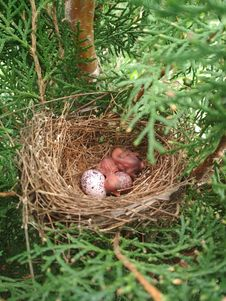 Free Nest, Bird Nest, Bird, Egg Stock Photography - 132766132