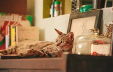 Free Photo Of Orange Tabby Cat On Shelf Royalty Free Stock Photography - 132859647