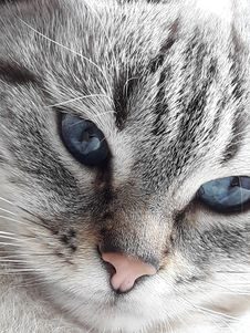 Free Cat, Whiskers, Face, Eye Stock Photography - 132861072