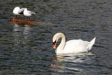 Free Swan, Water Bird, Bird, Ducks Geese And Swans Stock Photo - 132861490