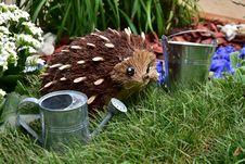 Free Hedgehog, Erinaceidae, Fauna, Echidna Stock Images - 132861584