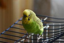 Free Bird, Common Pet Parakeet, Parakeet, Parrot Stock Image - 132861681