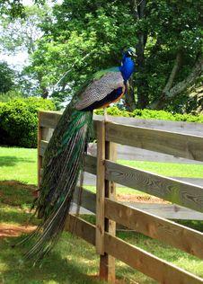 Free Peafowl, Bird, Galliformes, Nature Reserve Royalty Free Stock Photography - 132861727