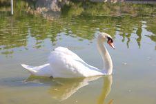 Free Swan, Bird, Water Bird, Ducks Geese And Swans Royalty Free Stock Image - 132861976