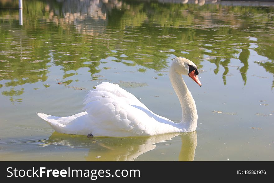 Swan, Bird, Water Bird, Ducks Geese And Swans
