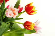 Free Bouquet Of The Fresh Tulips Royalty Free Stock Image - 13297446