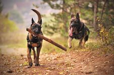 Free Two Adult Black-and-tan German Shepherds Running On Ground Royalty Free Stock Photos - 132944668