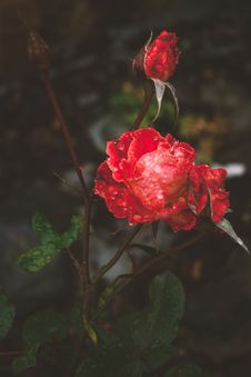 Free Red Rose Flowers Close-up Photography Stock Image - 132944921