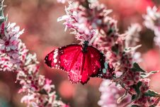 Free Red Butterfly Perched On Pink Flower Royalty Free Stock Photo - 132944975