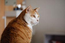 Free Photo Of Short-haired Orange And White Cat Stock Photos - 132945053