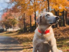 Free Shallow Focus Photography Of Adult Yellow Labrador Retriever Sitting On Roadside During Day Stock Photos - 132945063