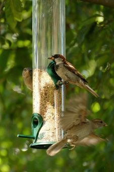 Free Bird, Fauna, Bird Feeder, Beak Royalty Free Stock Image - 132948936