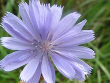 Free Chicory, Flower, Flora, Plant Royalty Free Stock Image - 132949206