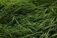 Free Grass, Grass Family, Plant, Sweet Grass Royalty Free Stock Photos - 132949368