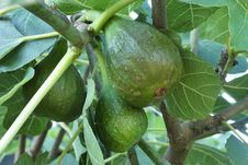 Free Fruit Tree, Fruit, Common Fig, Plant Royalty Free Stock Photography - 132949387