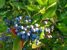 Free Plant, Bilberry, Blueberry, Huckleberry Stock Photography - 132949512