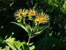 Free Flower, Plant, Daisy Family, Golden Samphire Royalty Free Stock Image - 132949516