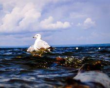 Free Bird, Seabird, Sea, Water Stock Images - 132949544