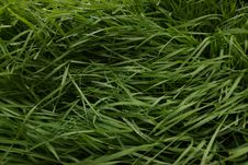 Free Grass, Grass Family, Plant, Sweet Grass Royalty Free Stock Image - 132949566