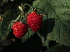 Free Berry, Raspberry, West Indian Raspberry, Raspberries Blackberries And Dewberries Stock Photos - 132949743