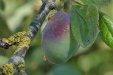 Free Fruit Tree, Fruit, Leaf, Plant Pathology Royalty Free Stock Photo - 132949785