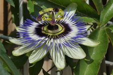 Free Flower, Plant, Passion Flower, Passion Flower Family Royalty Free Stock Image - 132949916
