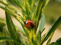 Free Red Ladybird Royalty Free Stock Image - 1330026