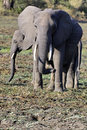 Free Elephants In South Luangwa Royalty Free Stock Photos - 1337108