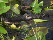 Hidden Alligator Royalty Free Stock Image