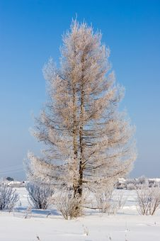 Free Frosten Larch Stock Image - 1330721